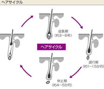hair cycle.jpg